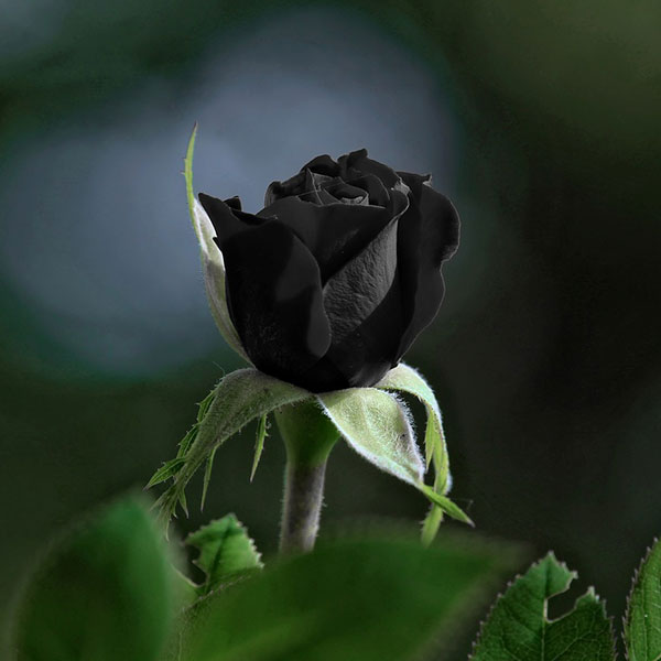 Valentine Week Rose Day colors guide saleislive valentine blackrose