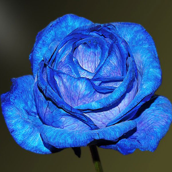 First Day of the Valentine Days Week is Rose Day. Gift Options Blue Rose